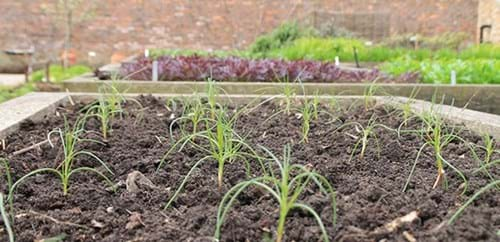 Agreiti Rosano in raised beds