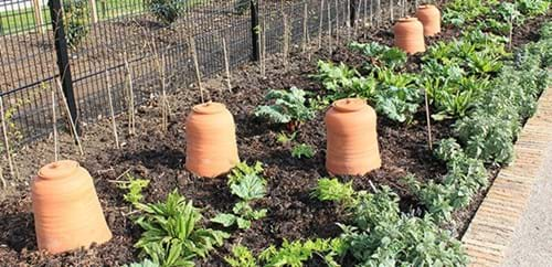 Rhubarb pots protect the Kitchen Garden crop