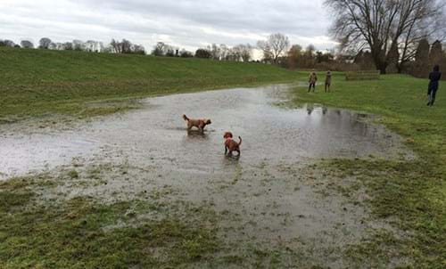 Dogs paddling in a flooded field