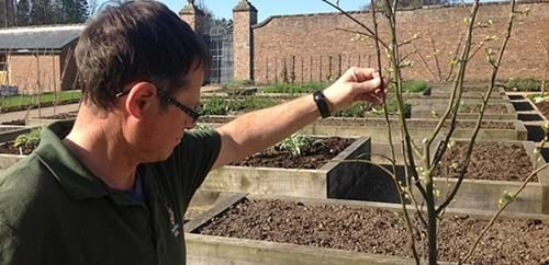 Adrian examines a sprouting quince tree